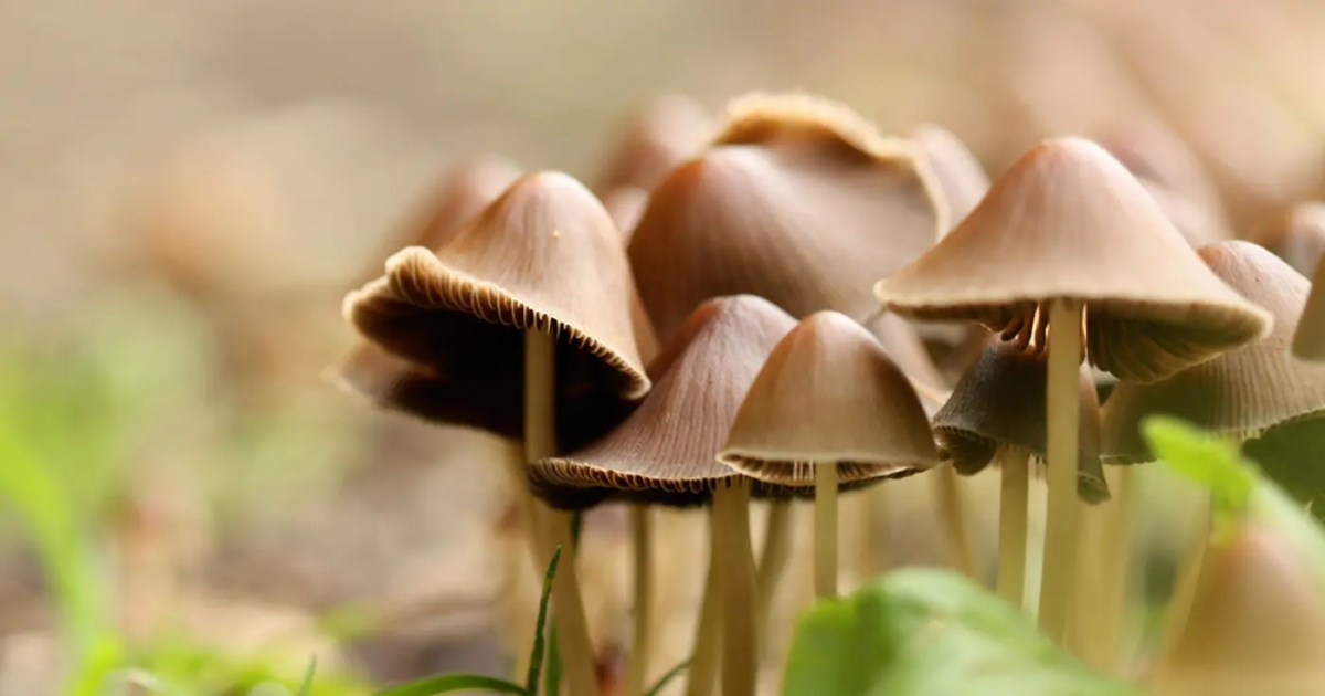 DoubleBlind: Photograph of wild magic mushrooms. In this article, doubleblind explores how mindmed is going public.