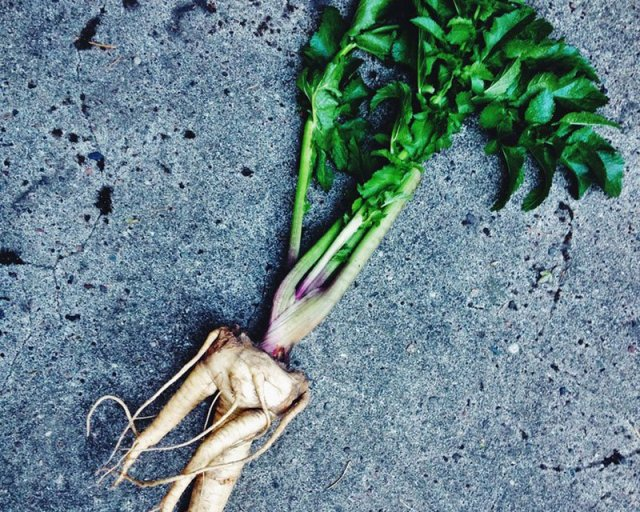 DoubleBlind: Image of mandrake root. In this article, DoubleBlind explores the top legal psychoactive plants in the United States and Canada.