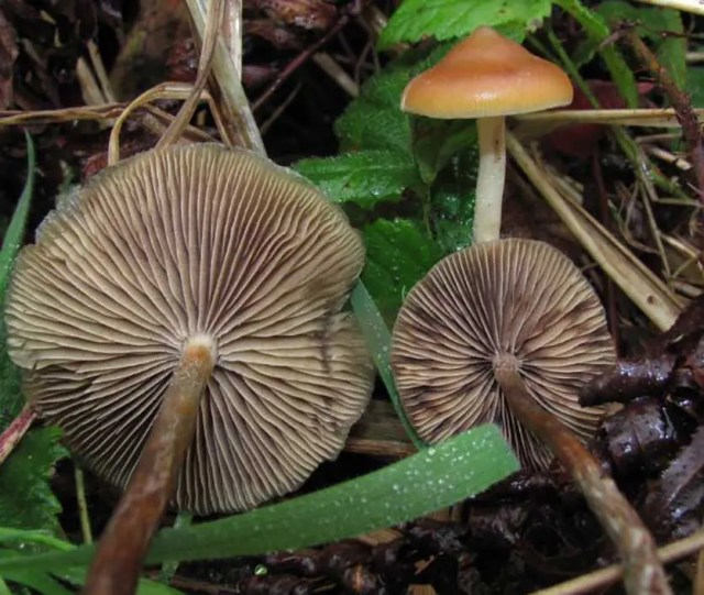 DoubleBlind: Image of Psilocybe Azurescens, species of psychedelic mushrooms.