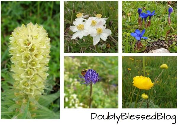 Alpenblumen - Familienwanderung Engelberg