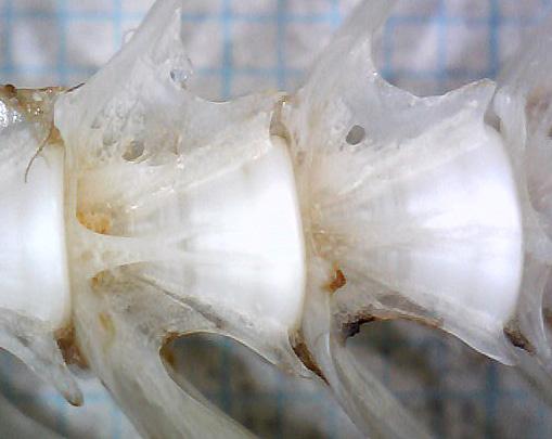 アカウシノシタ尾椎