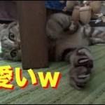 インコのおもちゃで遊んでた子猫にハプニング発生www[子猫][爆笑][ハプニング][癒し]