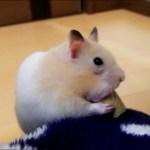 限界を感じてフリーズするハムスターがおもしろい!おもしろ可愛いハムスターFunny hamster that felt the limits froze makes me laugh!