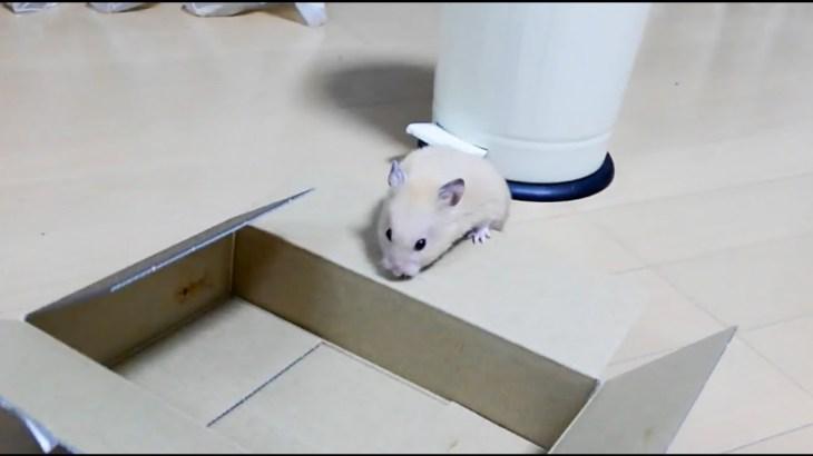 ハプニング!この後どうなるでしょう!?おもしろ可愛いハムスターWhat will happen to the hamster after this?