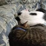 猫達と寝られる嬉しさと辛さ(面白い&可愛い猫)