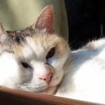 むにゅ~とおもしろい顔でくつろぐ三毛猫さん Cats relaxing with funny faces【ネコ吉LIFE part42】