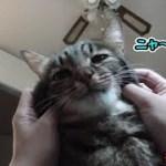 猫シシマルの顔をほぐしてあげました(面白い&可愛い猫)