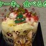 猫用ケーキ、猫トリオは食べてくれる?(面白い&可愛い猫)