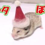 ハムスターにサンタ帽子作ってあげたらまじ可愛い!!(DIY)
