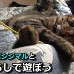 久々にオモチャで遊びエンジンが掛かった、猫シシマル(面白い&可愛い猫)