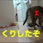 [激しく可愛い] 主にびっくりして飛び上がる子猫さん [子猫][保護猫]