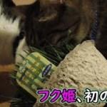 猫フク姫、初めて見る猫草(面白い&可愛い猫)