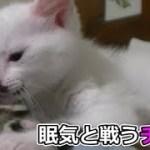 子猫フク姫、未公開映像(面白い&可愛い猫)