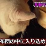 猫フク姫、飼い主の布団に自力で入り込めるか!?(面白い&可愛い猫)
