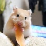 注意!ハムスターが飼いたくなる動画!おもしろ可愛いハムスターDon`t look! A movie that Funny hamster wants to keep!