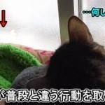 猫フク姫が普段と違う行動をすると…?(面白い&可愛い猫)