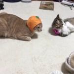 みかんをペロペロ舐める子猫がかわいい