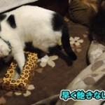 BOXティッシュの空箱で楽しむ猫達(面白い&可愛い猫)
