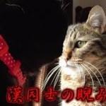 黒猫ビターとシシマル、男同士の睨み合い(面白い&可愛い猫)