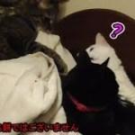 ひざ掛けを伸ばそうとしている?猫シシマル(面白い&可愛い猫)