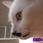 猫フク姫、アレが無くなっていた件について(面白い&可愛い猫)