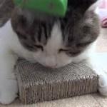 【のらのブラッシングはなかなか面白い】How the cat is brushing is funny.