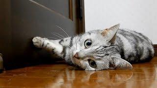 遊び疲れた猫のなかなか諦めない様が可愛い❤ どうやっても捕まらないトンボとあめちゃん…Cat's Enjoying Dragonfly Hunting Too Much