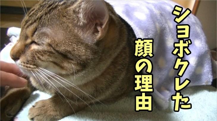 ショボクレた顔の理由はゲロ吐いてビックリしたから!【あくび】The reason of this messy face of this cat was that she vomited
