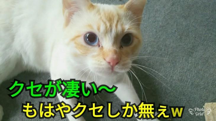 【クセが凄い猫】猫の鳴き声のクセが凄い~😅もはやクセしか無ぇw 20180417、猫