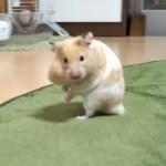 知ってた?ハムスター撮影者の苦労!おもしろ可愛い癒しハムスターA movie that understands the hardship of the hamster photographer!