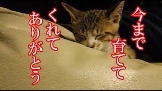 かわいい子猫が突然お家にやってきた-その時、先住猫達は・・・?!7日目-朝方kitten came to our house 8