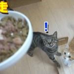 ご馳走を見た時の猫のリアクションがカワイイ!【すず/コテツ】