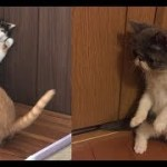 子猫ちゃんの威嚇のポーズが可愛くてじわじわ面白いw~The pose of the intimidation of the kitten is cute and funny.