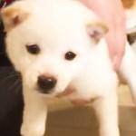 我が家に新しい家族が…❗️ 可愛い白柴ちゃんを迎える2匹の先輩ワンコ🐶🐶  【PECO TV】