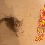 猫は上目遣いが1番可愛い!?きんたとただ遊んでみた!