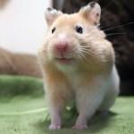 ずるい!この顔でフリーズするハムスター ! おもしろ可愛い癒しハムスターslyness! Funny Hamster face to freeze is too cute!