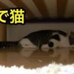子猫が打ち上げられた?アザラシ状態の子猫【猫】【かわいい】