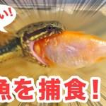 スゴイ!カッパヘビが金魚を捕える瞬間