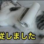 コロコロの前に服従した子猫【猫】【かわいい】