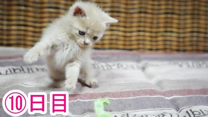 マンガをいっしょに見たい子猫がかわいい 10日目