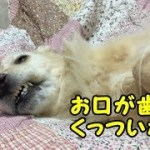 お昼寝中の顔がやっぱりブサ可愛いゴールデンレトリバーのはっち