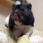 ハムスターにはじめてリンゴをあげてみた!おもしろ可愛い癒しハムスターHamster who ate apples for the first time