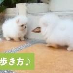 てくてく♪ 可愛い歩き方で遊び回るワンコ達💕【PECO TV】