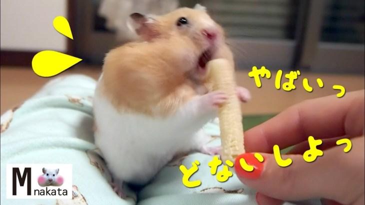 見たことある?こんなに慌てるハムスター!おもしろ可愛い癒しハムスターHave you seen it?A hamster to panic!