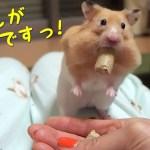 懐きすぎ!手渡し以外は餌を拒否するハムスター!おもしろ可愛い癒しハムスターFunny Hamsters who refuse food except personal delivery!