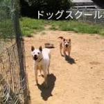 【驚き!】紀州犬ヒラメちゃん常同障害犬のリハビリ!!