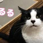 控え目な猫おむすびさん、可愛い声で晩御飯のおねだり