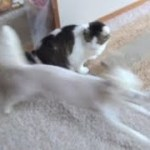 【くーのすごい激走とそれに文句を言うのらが面白い】The dog runs desperately and the cat complains about it.lol