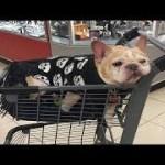 「絶対笑う」最高におもしろ犬,猫,動物のハプニング, 失敗画像集 #92