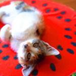 子猫とスイカ=かわいい 三毛子猫ですが何か?その14